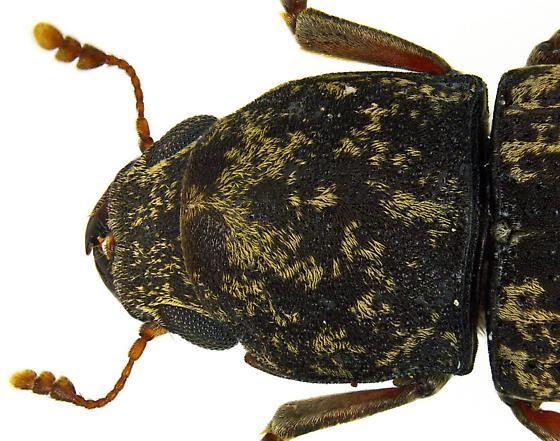 Eugonus bicolor? - Eugonus bicolor
