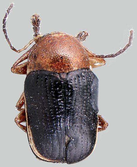 Cryptocephalus venustus cinctipennis - Cryptocephalus venustus