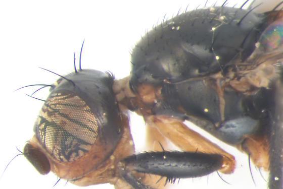 Sepsidae, Black Scavenger Fly, eye & thorax - Saltella sphondylii - male