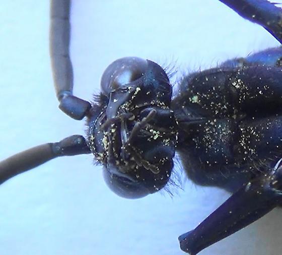 Handsome Tarantula Hawk (ventral head) - Pepsis thisbe - male