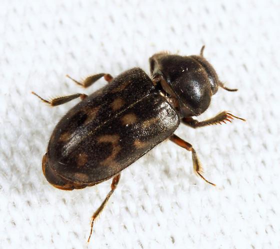 Variegated Mud-loving Beetle - Heterocerus mollinus