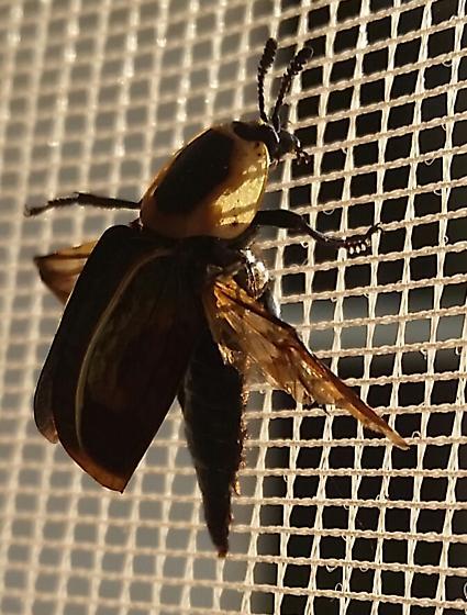 The Escape - Necrophila americana