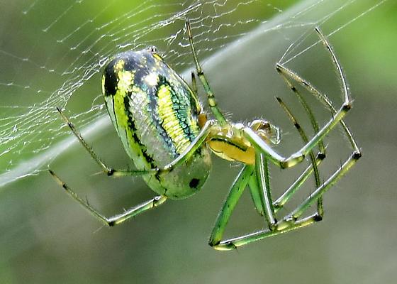 spider99640 - Leucauge venusta