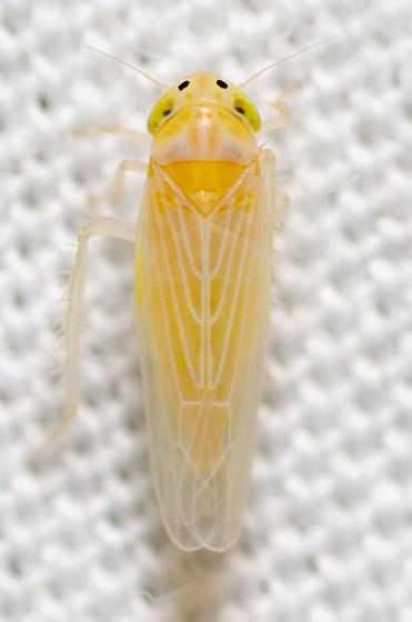 Corn Leafhopper in Austin TX - Dalbulus maidis