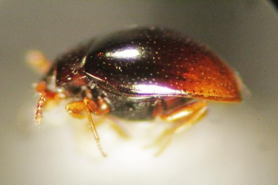 Small Brown Beetle - Ephistemus globulus
