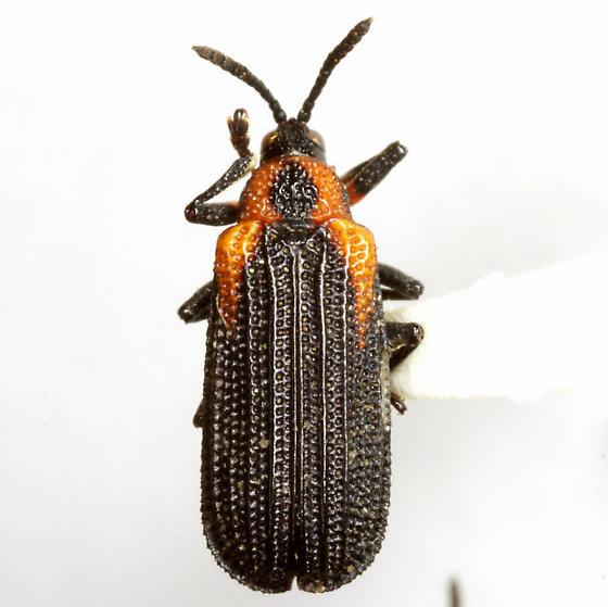 Odontota scapularis (Olivier) - Odontota scapularis