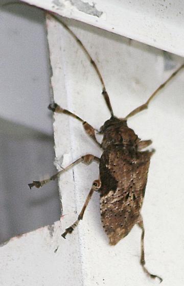 longhorn beetle - Lagocheirus araneiformis