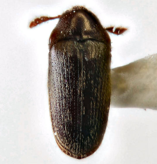 Aulonothroscus or Trixagus - Trixagus carinicollis
