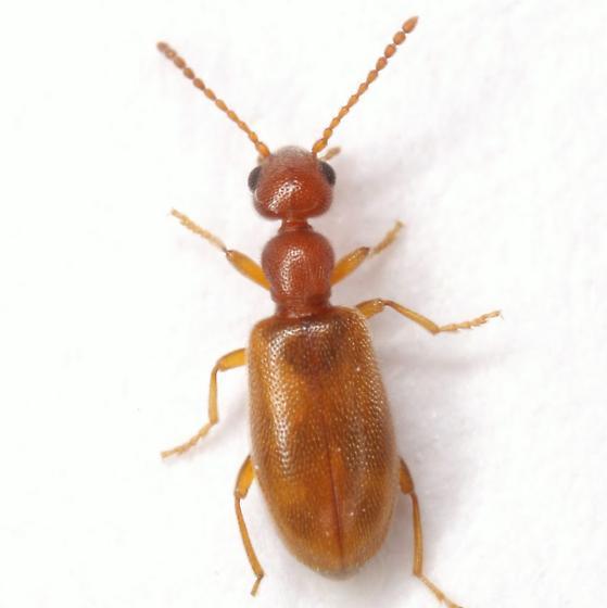 Anthicus cervinus  LaFerté-Sénectère - Anthicus cervinus