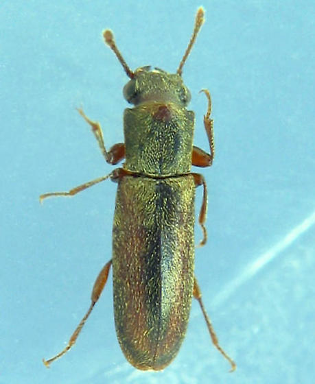 elongate big-eyed prognathous beetle - Trogoxylon parallelipipedum
