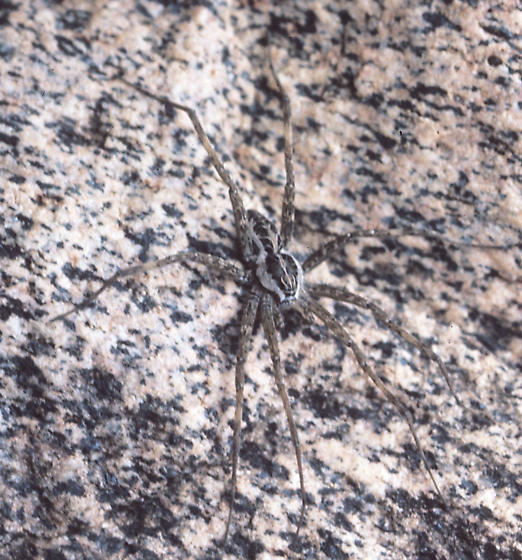 Fishing Spider - Dolomedes scriptus - male