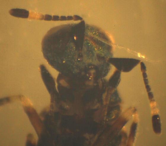 Hymenoptera - Eulophidae? - Blastothrix