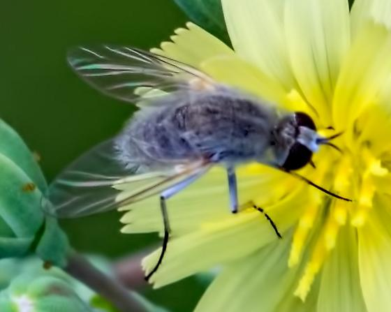 Unknown Bee Fly 3897