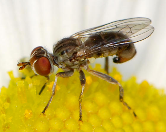 Thick-headed fly - Zodion - female