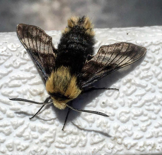 Yellow-banded Day Sphinx Moth - (Proserpinus flavofasciata) - Proserpinus flavofasciata