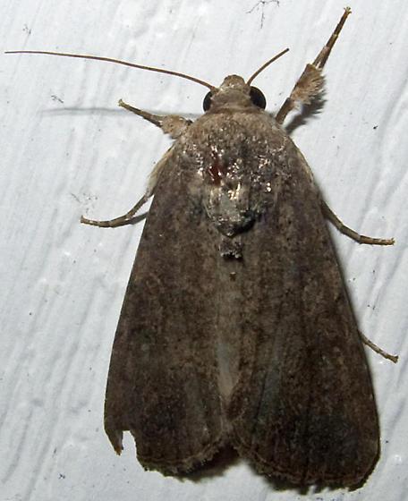 Unidentified Noctuid 2 - Spodoptera frugiperda