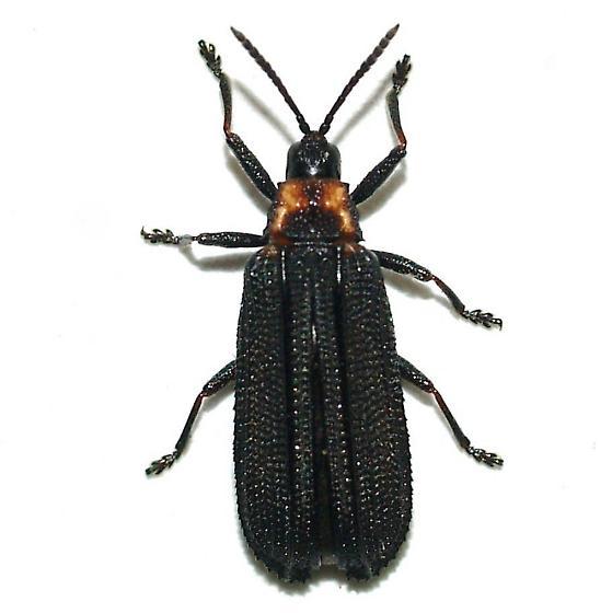 Xenochalepus ater (Weise) - Xenochalepus ater