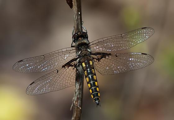Robust Baskettail? - Epitheca semiaquea - female
