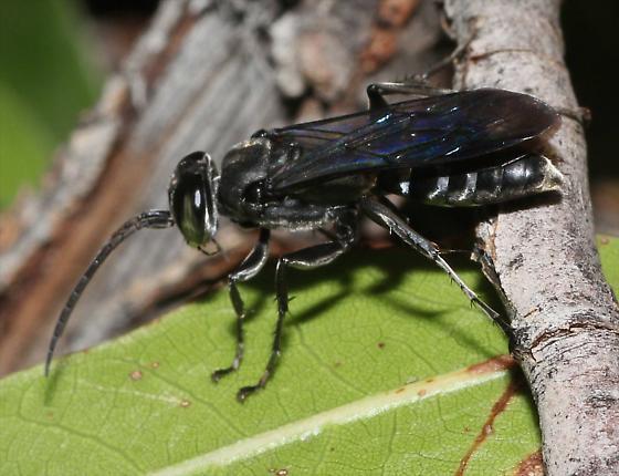 Blue Wasp - Liris - male