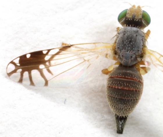 Trupanea? - Trupanea actinobola - female