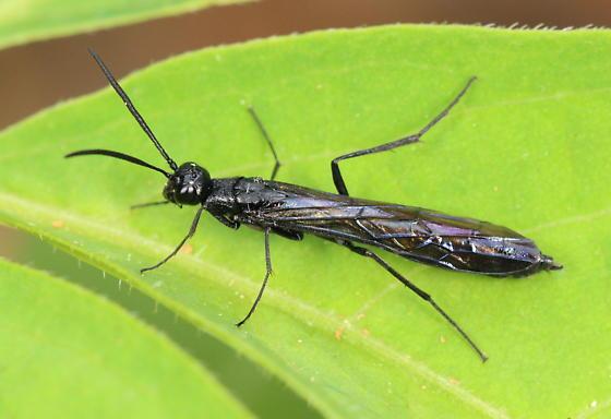 Sawfly? - Hartigia trimaculata - female