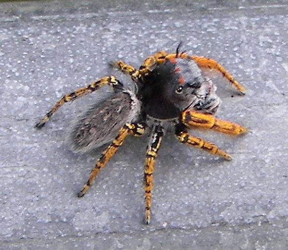 Jumping Spider - Phidippus mystaceus - male