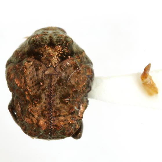 Neochlamisus gibbosus (Fabricius)  - Neochlamisus gibbosus - male