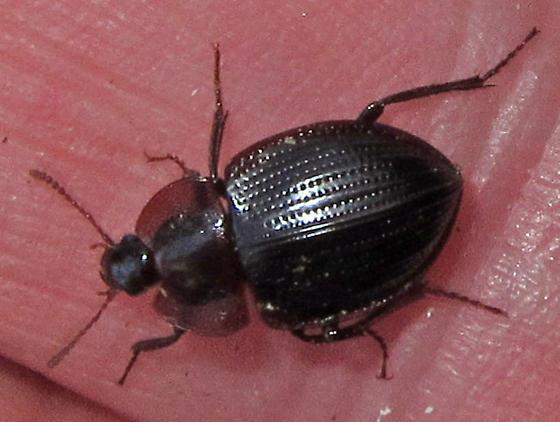 Unknown Beetle - Necrophilus pettiti