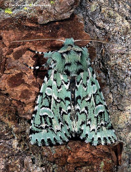 Unknown Moth - Feralia comstocki