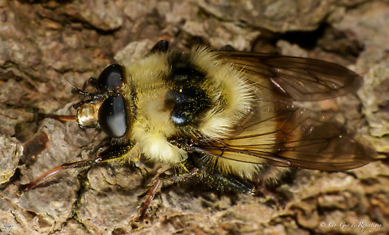 Hymenoptera. Apidae. Bombus? - Criorhina nigriventris