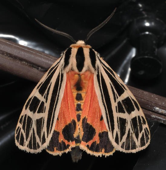 Unknown tiger moth - Grammia parthenice
