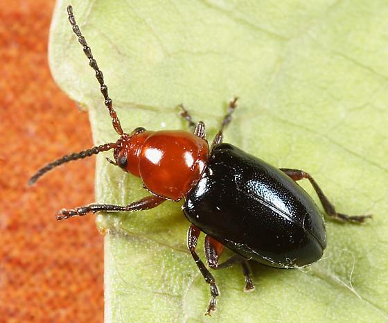 Flea Beetle - Syphrea flavicollis