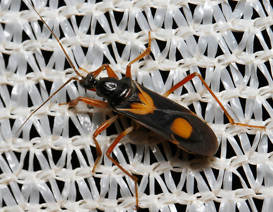 two-spotted Assassin Bug - Rasahus hamatus