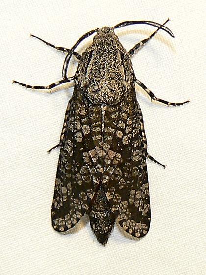 2693 - Carpenterworm Moth  - Prionoxystus robiniae - male