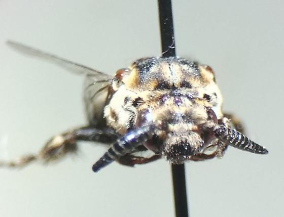 Apidae - Zacosmia maculata - male