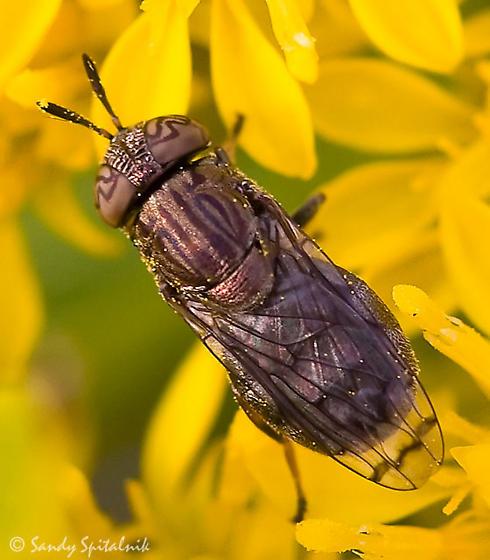 Syrphid Fly - Orthonevra nitida - female