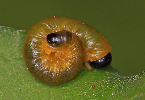 Sawfly Larvae - Yellow and Green with Black Head - Macremphytus