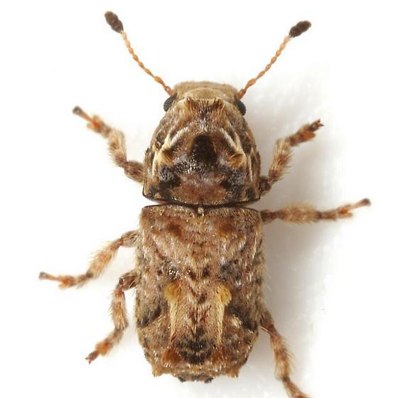 Toxonotus penicellatus (Schaeffer) - Toxonotus penicellatus