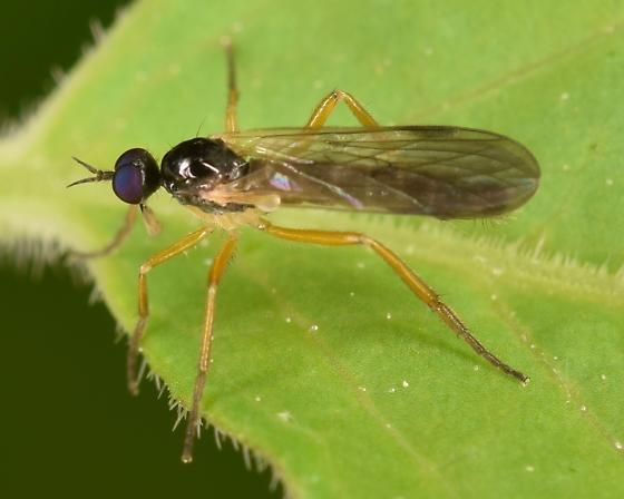 purple eyed fly - Rhamphomyia - male