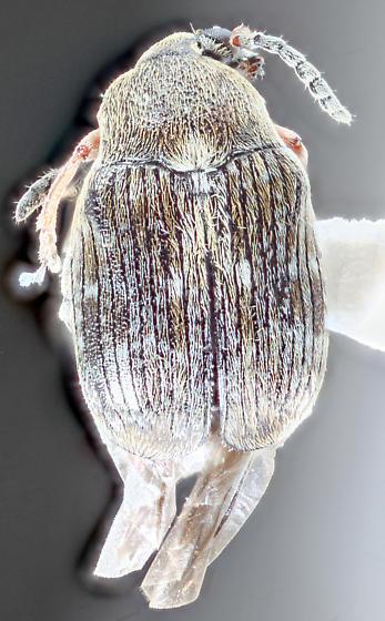 Glencoe-2 - Bruchus rufimanus