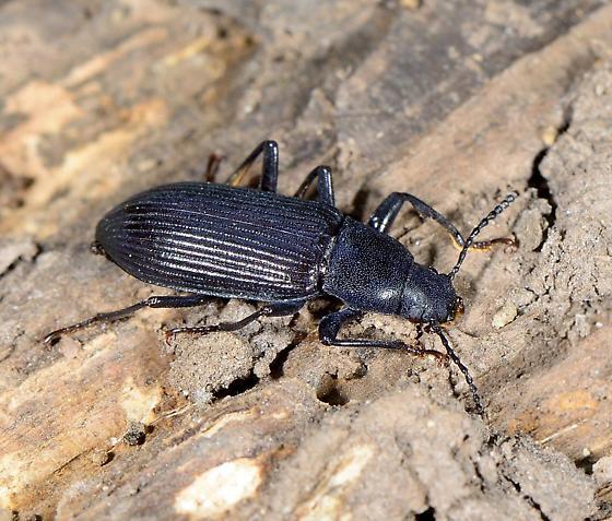 Ground Beetle - Xylopinus