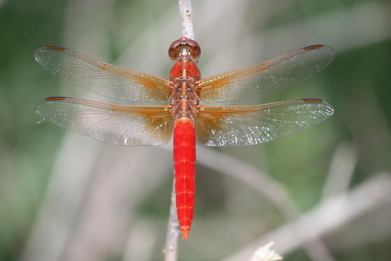 Red Dragonfly? - Libellula croceipennis - male