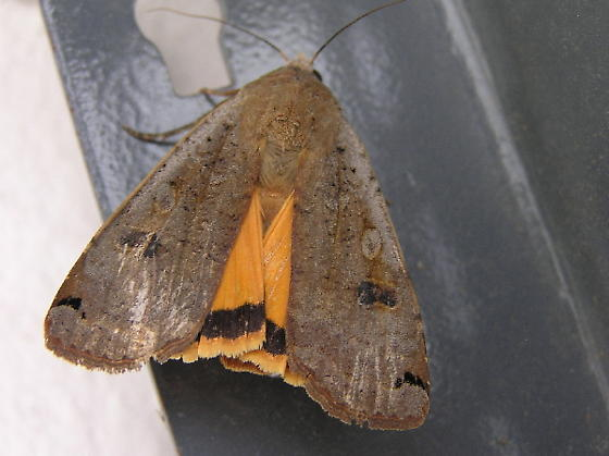 Is this a Yellow underwing? - Noctua pronuba
