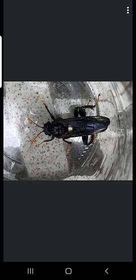 Wasp? - Cimbex americanus