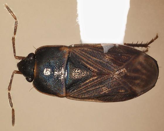 Cryphula nitens - female