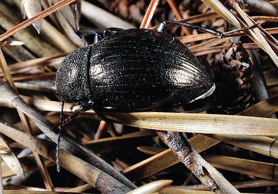 A darkling beetle - Meracantha contracta