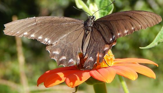 Gruff the Butterfly - Battus philenor