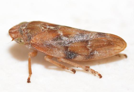 Spittlebug - Aphrophora - male