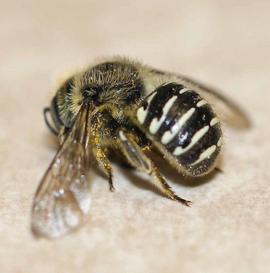 bee for ID - Anthidium