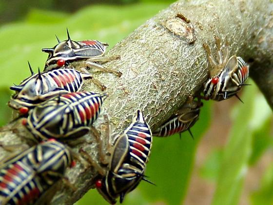True Bug - Platycotis vittata